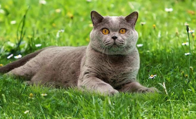 Cele mai bune rase de pisici