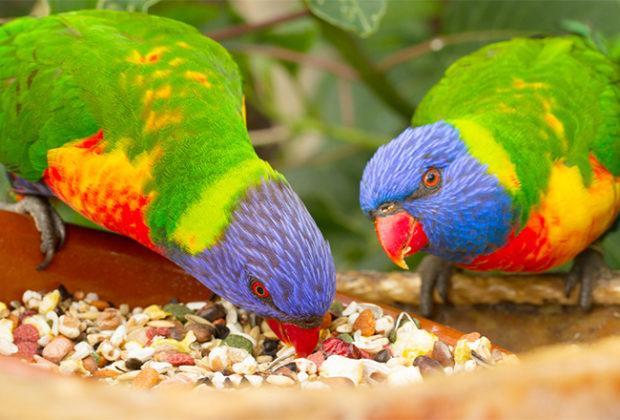 Cea mai bună mâncare pentru papagali