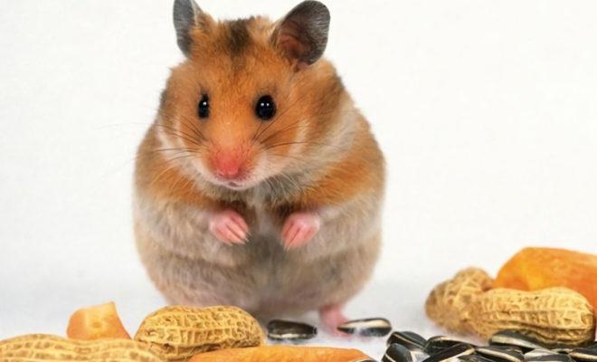 Cea mai bună mâncare pentru hamsteri